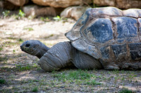 African Spurred Tortoise at the Kansas City Zoo