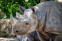 Rhinoceros at the Kansas City Zoo