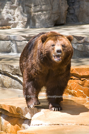 Grizzly bear at the St. Louis Zoo.