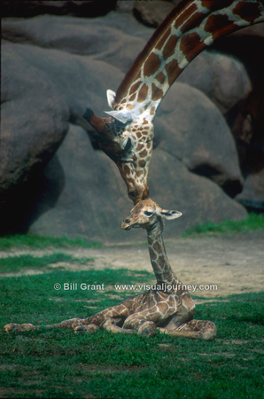 Baby giraffe and mother - St. Louis Zoo
