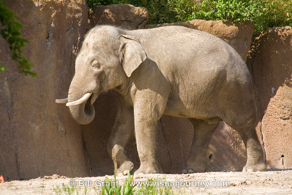 Asian elephant at the St. Louis Zoo.